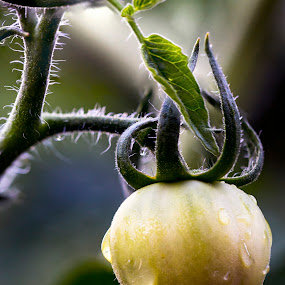 A New Beginning... by Rachaelle Larsen - Nature Up Close Gardens & Produce ( water drops, macro, tomato, sprout, leaves )