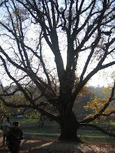Photo: Zamek Leszczyńskich. Dąb Jan w parku.