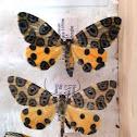 Polilla tigre / tiger moth