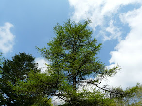 Photo: 青空と新緑の落葉松