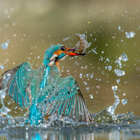 fish & drops, Kingfisher by Riccardo Trevisani - Animals Birds ( riccardo trevisani, wild, kingfisher, wildlife, nikon, italy )
