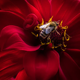 Bee on red dahlia by Molly Hollman - Animals Insects & Spiders ( red, bee, dahlia, honey, flower )