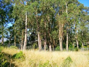 Photo: Those are not oak trees.