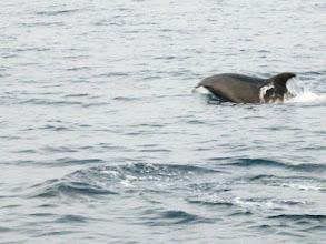 Photo: おおー イルカの群れに遭遇。 高ぶった気持ちを抑えるかのような心和む光景です。 ・・・釣りをするポイントで出てこないことを祈ります。