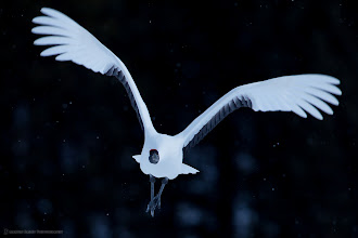 Photo: A Red-Crowned Crane flying straight towards me in light snow.