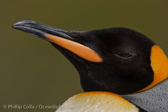 Photo: King penguin, showing ornate and distinctive neck, breast and head plumage and orange beak.