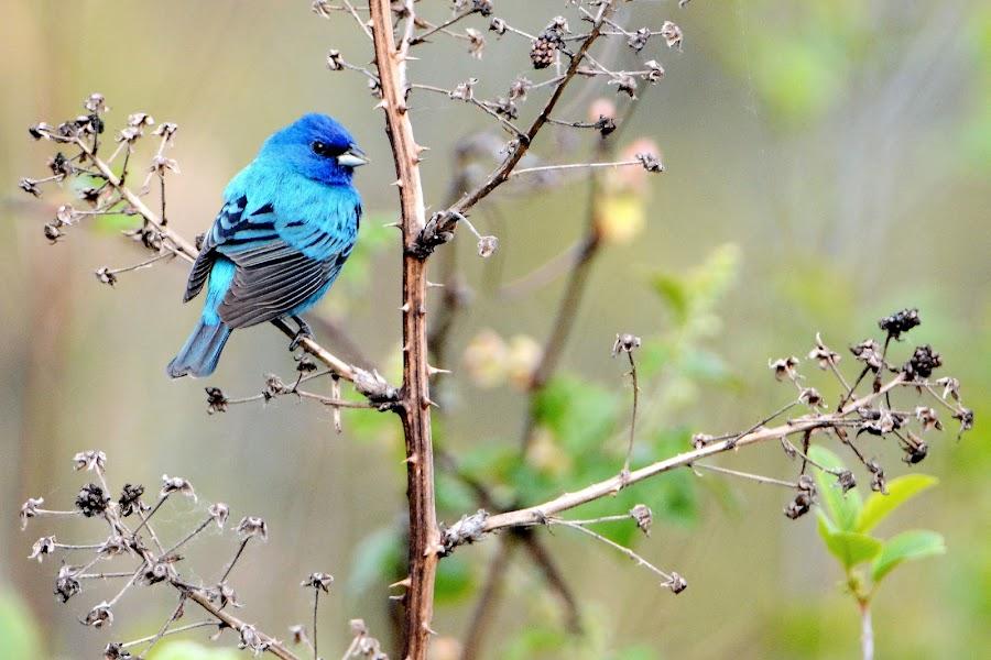 Indigo Bunting by Steven Liffmann - Animals Birds ( bird, bunting, indigo, blue, indigo bunting, portrait,  )