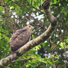Wallace's Hawk Eagle