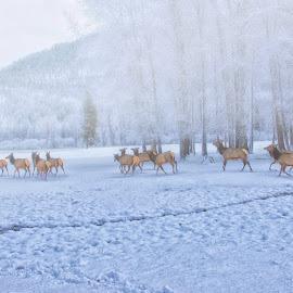 Elk in Winter Fog by Twin Wranglers Baker - Landscapes Weather (  )