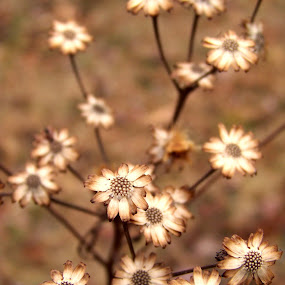 Left behind by Cindy Swinehart - Nature Up Close Flowers - 2011-2013 ( orange, fall, brown, flowers, dead,  )