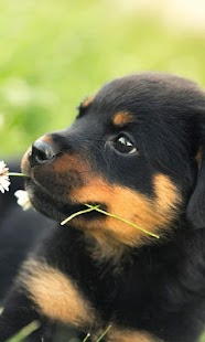 Rottweiler New HD Wallpapers - náhled