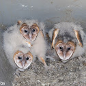 Barn Owls, 45 days old