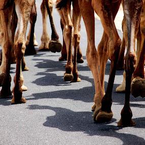 camel by Rajesh Kumar - Transportation Other