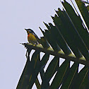 crimson-breasted flowerpecker