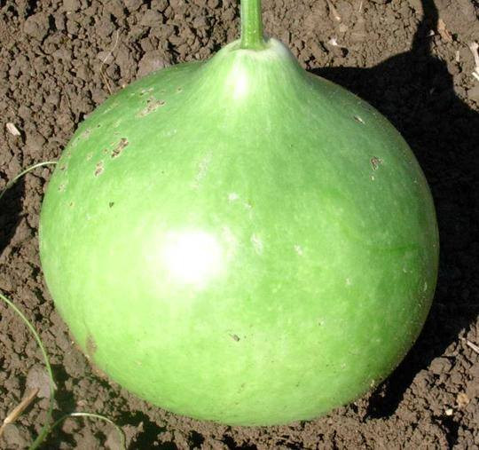 BUSHEL GOURD (120 DAYS) - Pinetree Garden Seeds - Vegetables