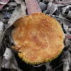 Gilled bolete - Phylloporus sp.