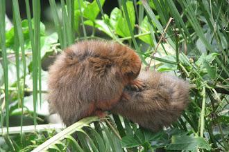 Photo: Dusky Titi Monkeys