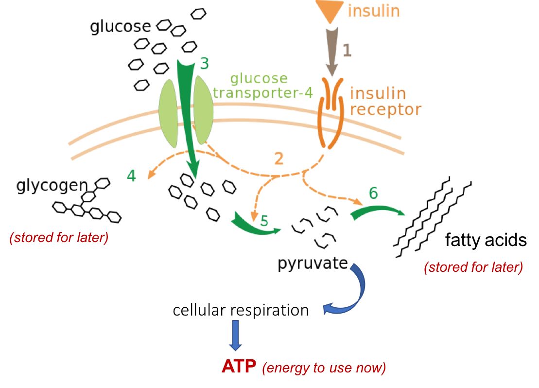 Schematic showing insulin binding to its receptors on the cell membrane, triggering GLUT-4 glucose transporters to open on the membrane. This allows glucose to enter the cell, where it can be used in several ways.