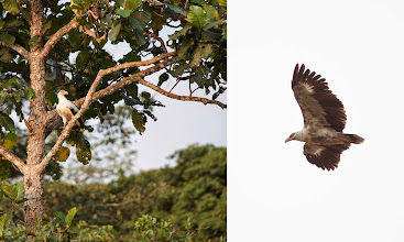 Photo: Palm nut vultures are fairly common on the Lango bai.