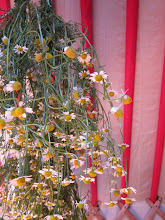 Photo: Chamomile drying
