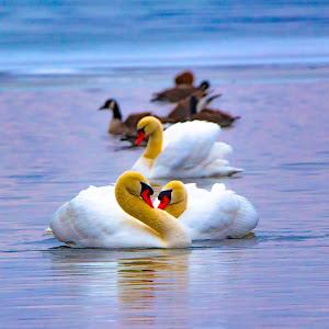 3 swans Depth of field.jpg