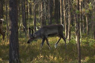Photo: Reindeer