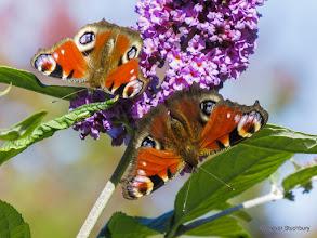 Photo: Peacock Butterflies on Buddlea, Drum Castle