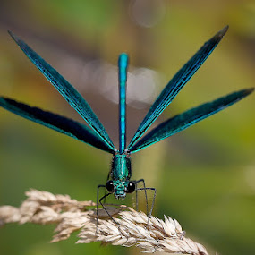 Calopteryx splendens by Miroslav Socha - Animals Insects & Spiders