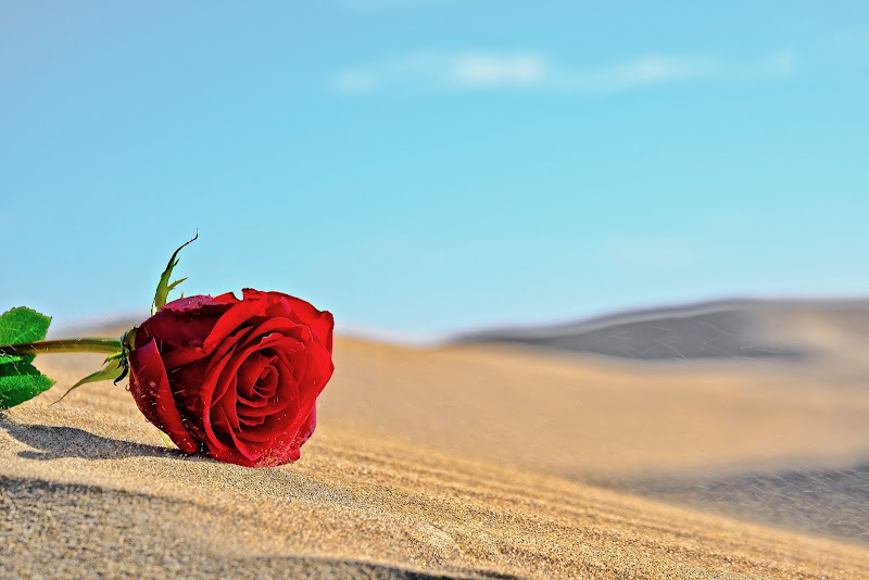 Like a rose in the desert di Through_my_eyes