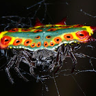 Rainbow Spiny Orb-weaver