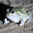 Sudell's Burrowing Frog