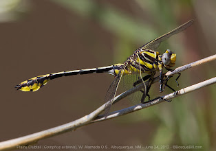 Photo: Plains Clubtail Dragonfly photographed last week along the Rio Grande not far from my house. #odonata  #dragonfly