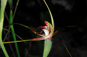 Photo: Caladenia arenicola