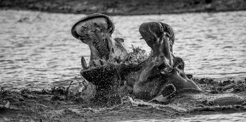 Hippos fighting di LucaMonnereau