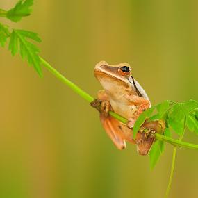 Frog by Muhamad Firman - Animals Amphibians