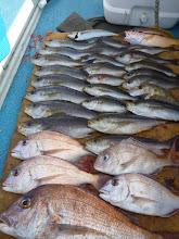 """Photo: 釣果です! """"アオキさん""""の釣果! いいサイズの真鯛、イサキも入りました!"""