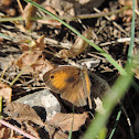 Turkish meadow brown
