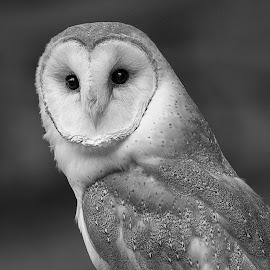 Barn Owl by Janet Marsh - Black & White Animals (  )