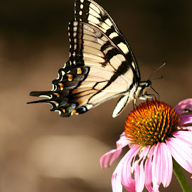 The butterfly and the daisy. by Peter DiMarco - Animals Insects & Spiders ( butterfly, animals, insects, insect, flower,  )
