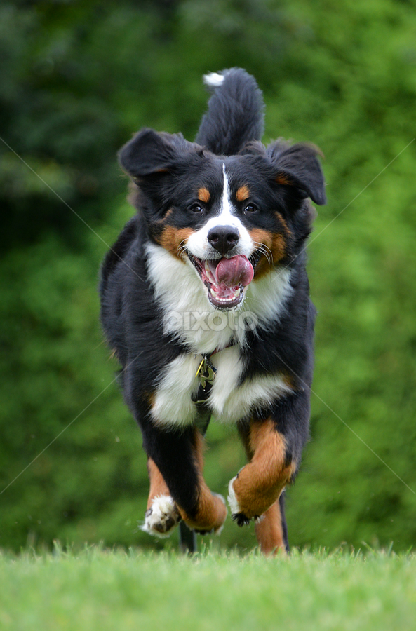 Running by Heidi Emanouel  - Animals - Dogs Running ( running, bernese mountain dog )