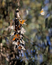 Photo: POTD 01.07.12 Monarch Butterflies