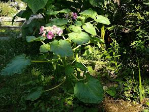 Photo: Proboscidea louisianica var. fragrans