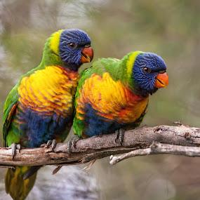 Rainbow Lorikeet by Erica Siegel - Animals Birds ( rainbow lorikeet, baby birds, chicks, birds, lorikeet )