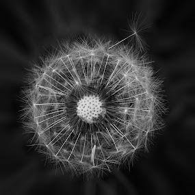 Dandelion Close Up by Sunny Zheng - Black & White Flowers & Plants