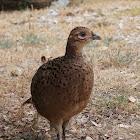 Common pheasant ♀