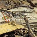 Pronotal Range Grasshopper