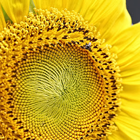 The Sun by Benyamin Kristiawan - Nature Up Close Flowers - 2011-2013 ( macro yellow flower, sun flower, sun, flower,  )