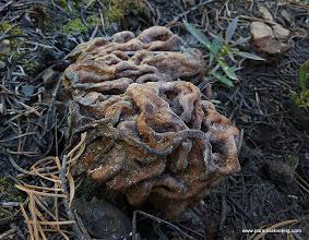 Photo: Snow Mushroom, Gyromitra montana