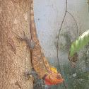 Oriental garden lizard ♀️