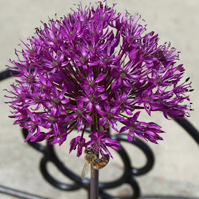 Allium With A Bee by Sean Leland - Flowers Single Flower ( purple, bee, allium, flower, honey, honey bee,  )
